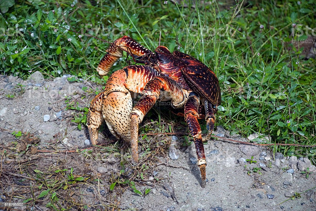 Coconut Crab Claw stock photo