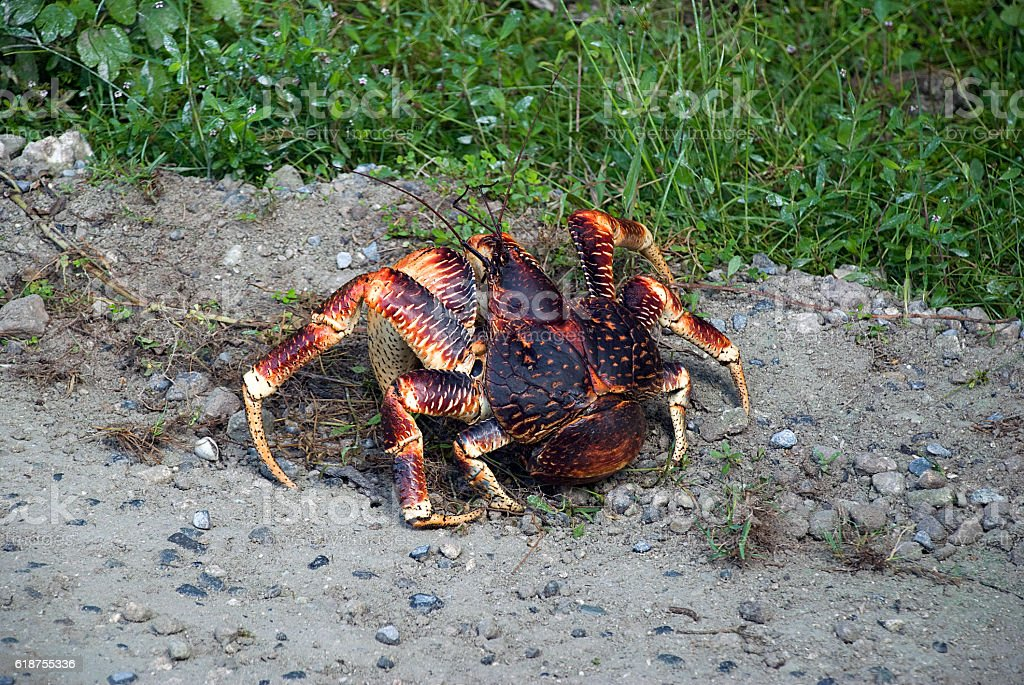 Coconut Crab stock photo