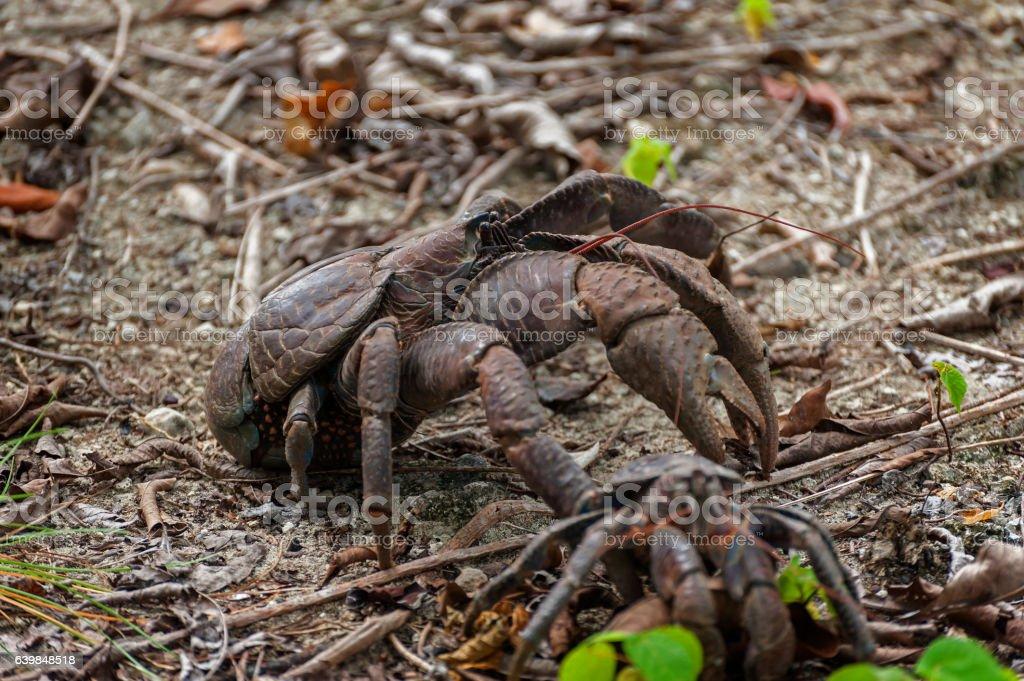Coconut Crab stock photo