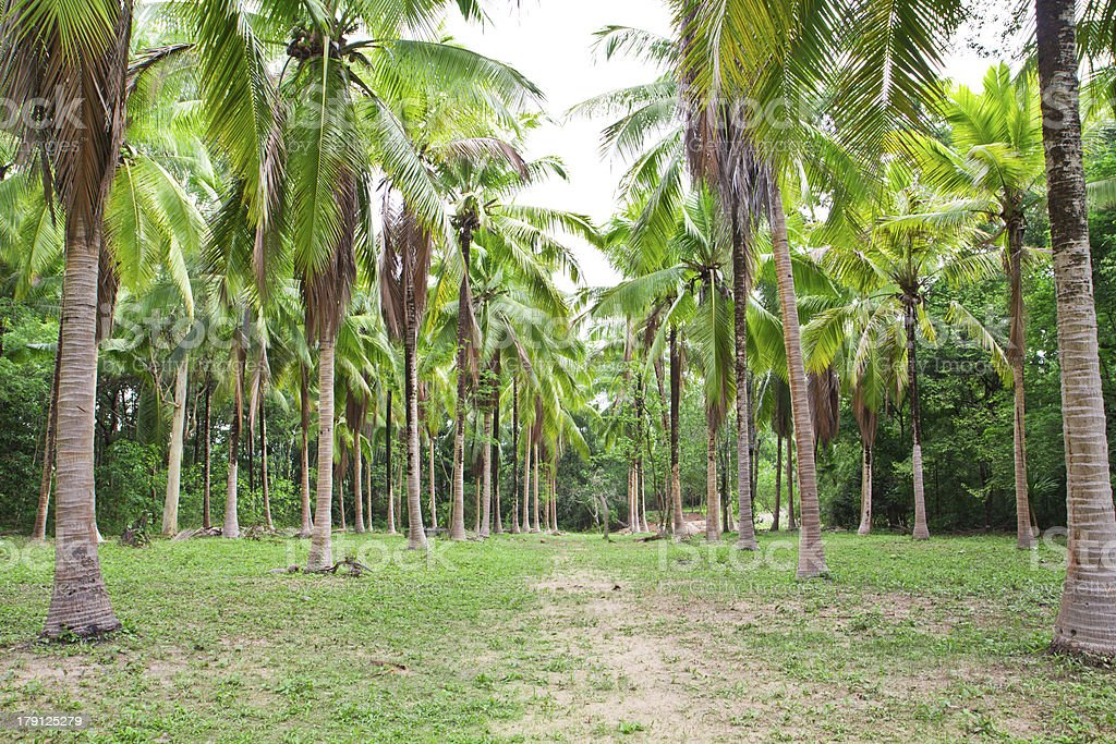 coconut field in thailand,landscape view royalty-free stock photo