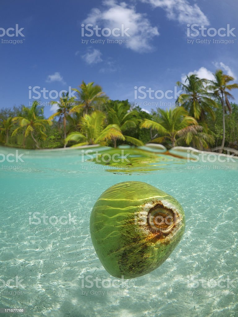 Coconut Floating in Tropical Waters Palm Tree Beach stock photo