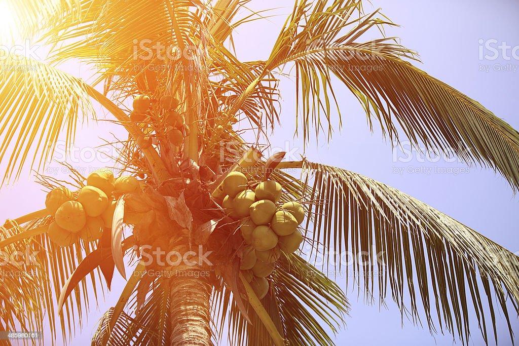coconut fruits grow on tree stock photo