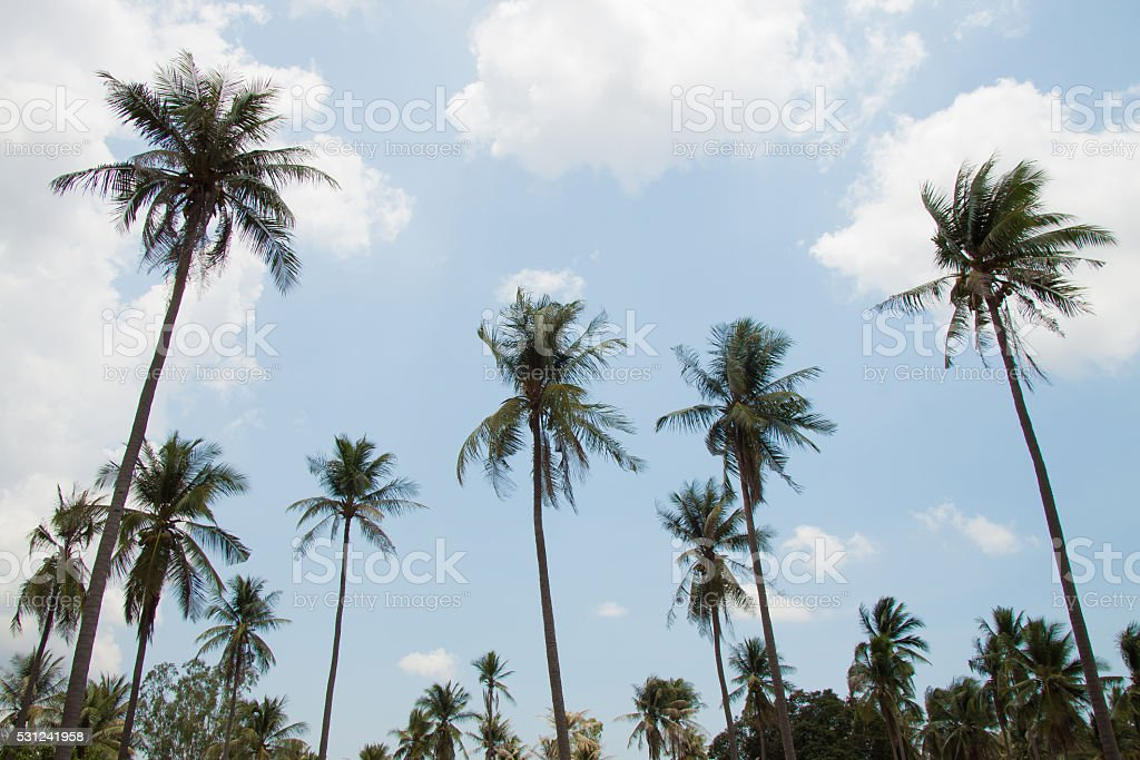 Coconut garden fruit with blue sky background royalty-free stock photo