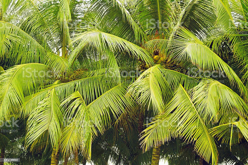 Coconut grove stock photo