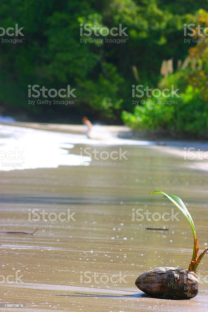 Coconut in Costa Rica royalty-free stock photo