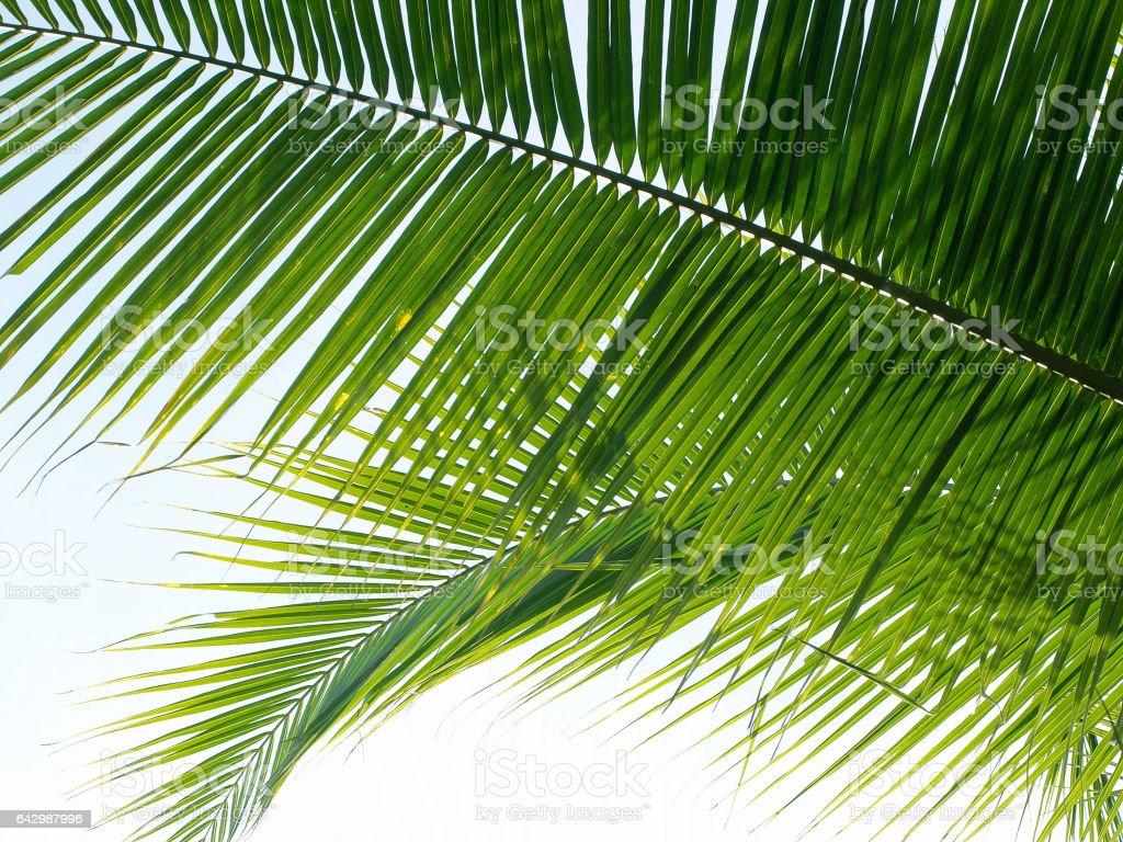 Coconut leaf background stock photo