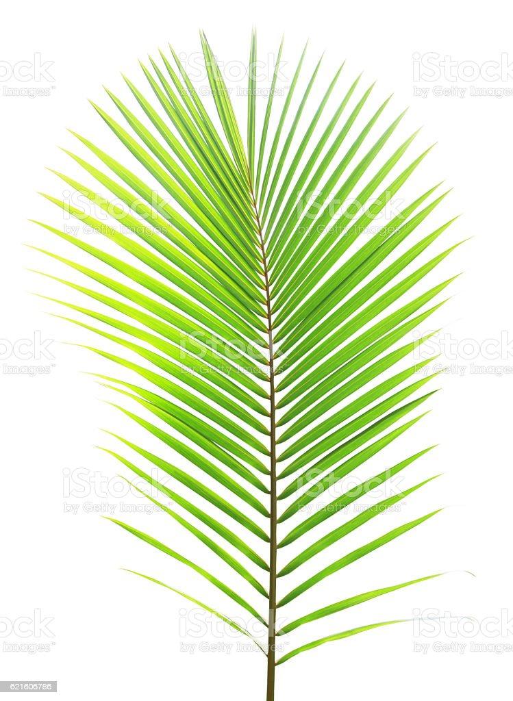 Coconut leaf isolated on white background stock photo