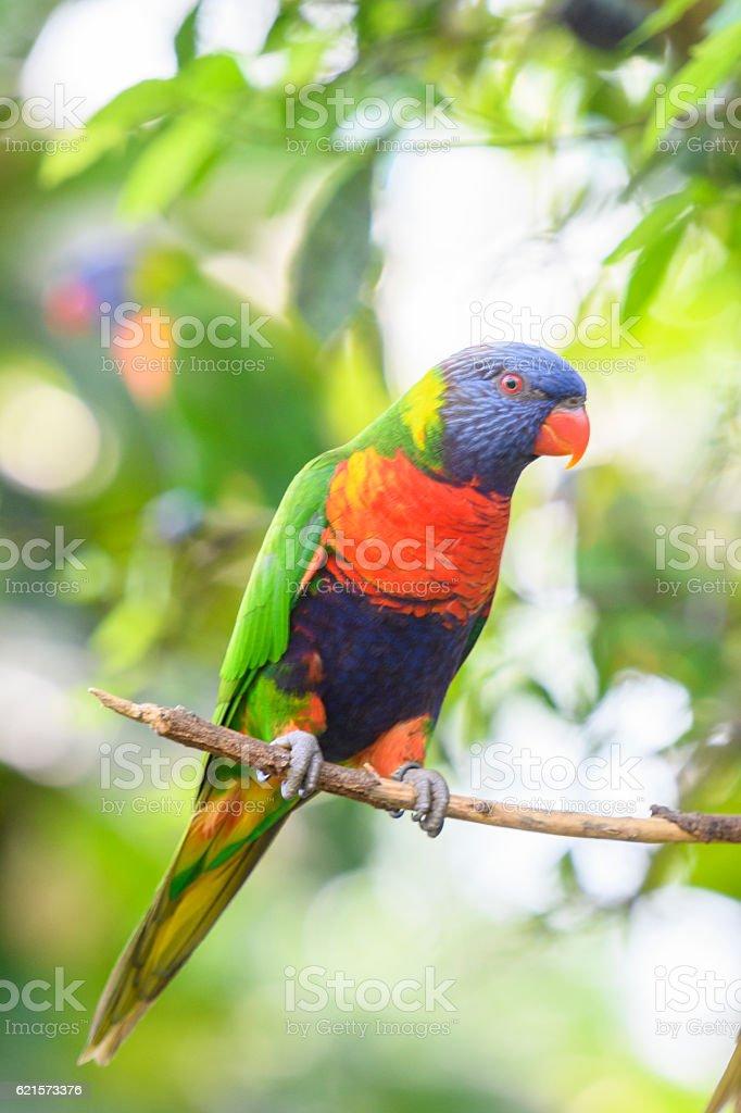 Coconut lorikeet parrot tropical bird sitting in a tree stock photo
