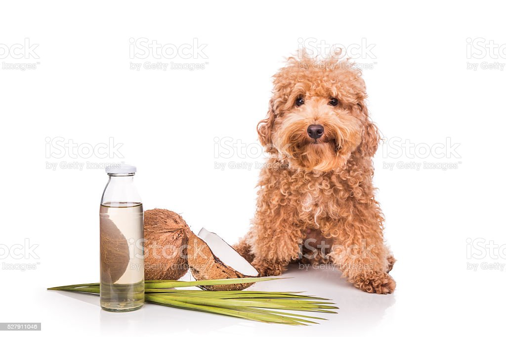 Coconut oil and fats natural ticks fleas repellent for pets stock photo