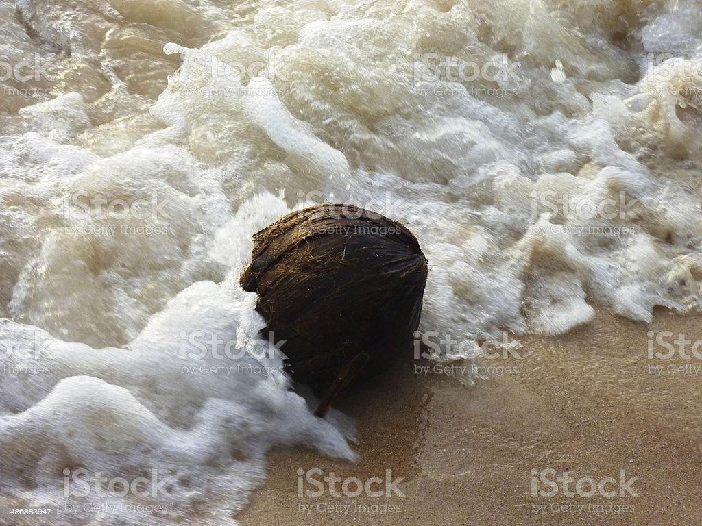 Coconut on the beach Ko Tao royalty-free stock photo