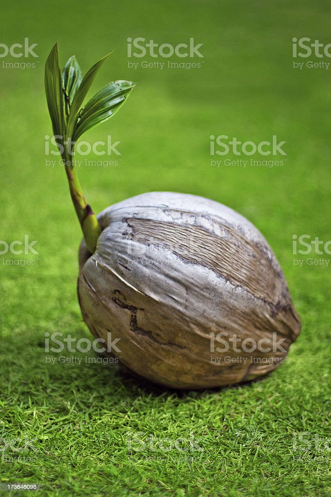 coconut on the green grass stock photo
