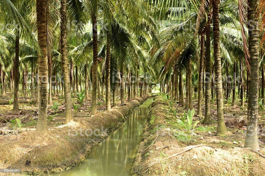 Coconut Palm farm. stock photo