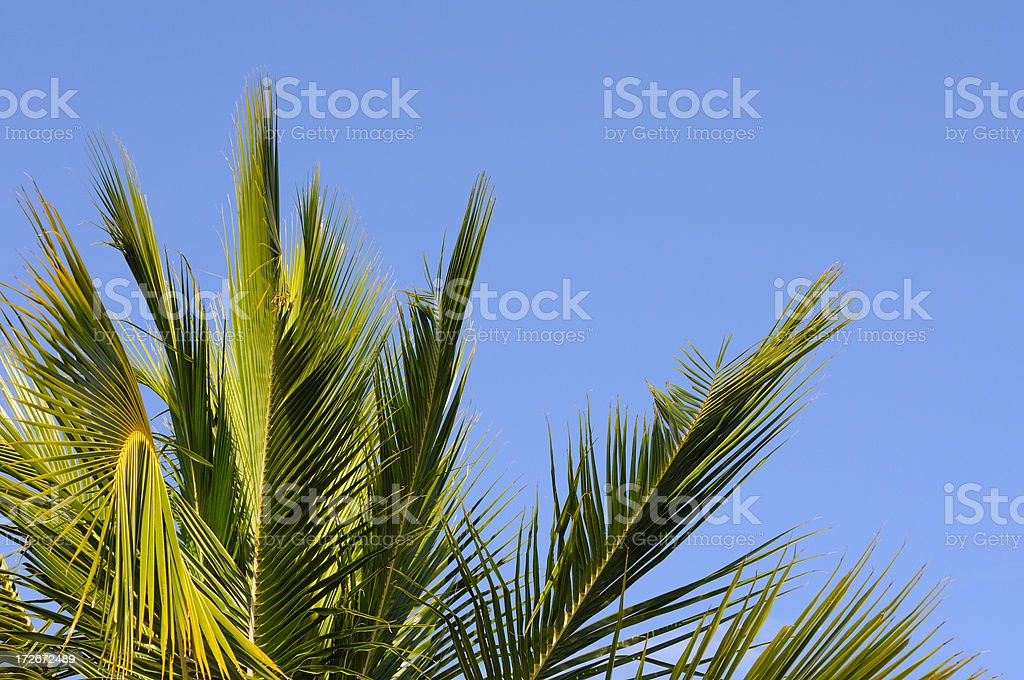 coconut palm leaves stock photo