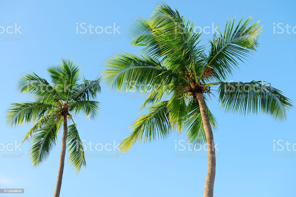 coconut palm stock photo