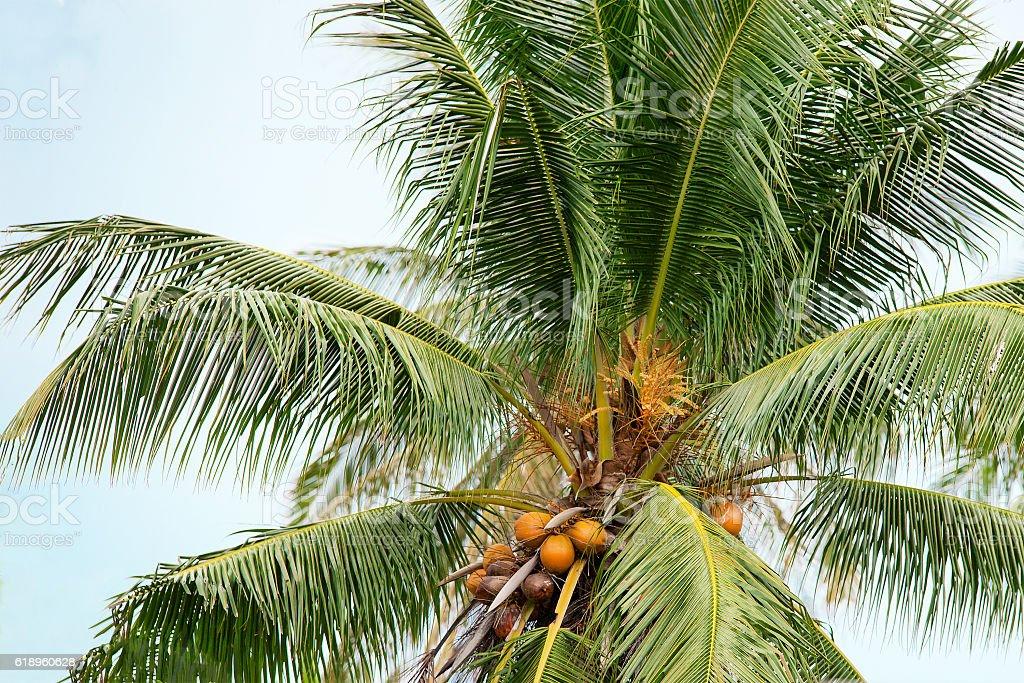 Coconut palm stock photo