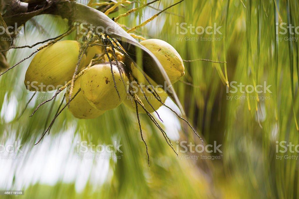 Coconut palm tree at Caribbean tropical beach stock photo
