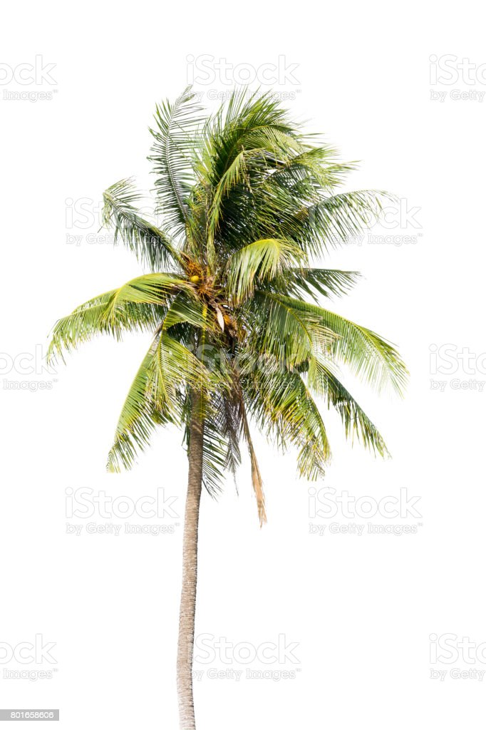 Coconut palm tree, Coco green leaves isolated stock photo