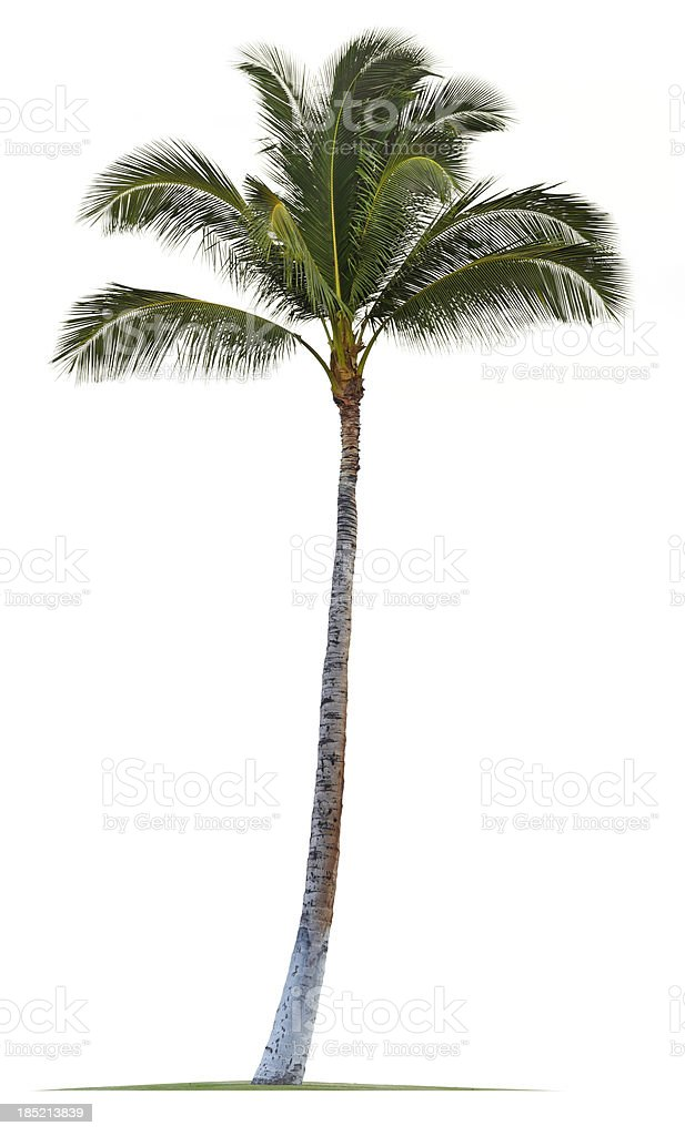 Coconut Palm Tree Isolated On White Background stock photo