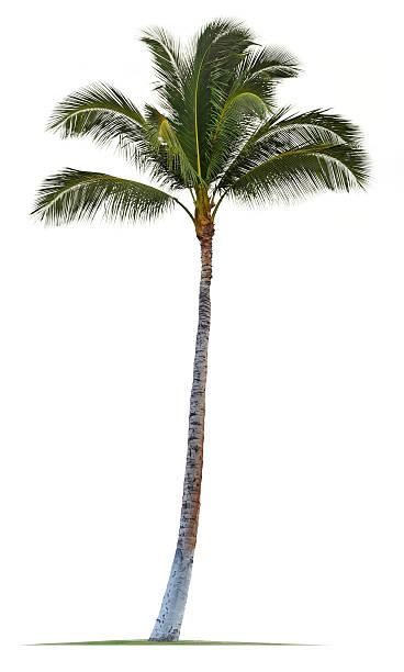 palm tree white - photo #18