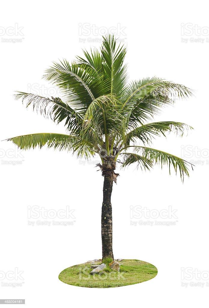 Coconut palm tree. royalty-free stock photo