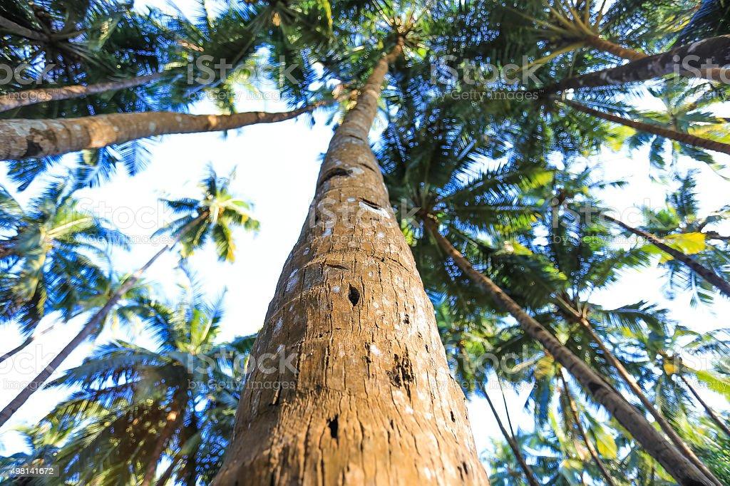 Coconut palm tree trunk close-up. India, Goa. stock photo