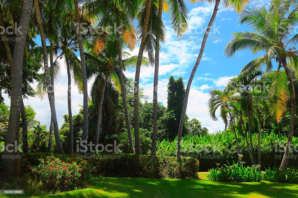 Coconut Palm trees Green foliage and garden at gold sunset stock photo