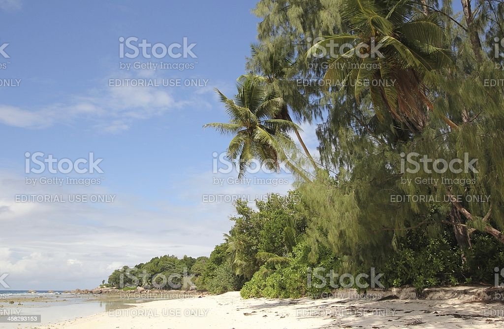 Coconut Palm Trees (Cocos nucifera) on a Tropical Island, Seychelles royalty-free stock photo