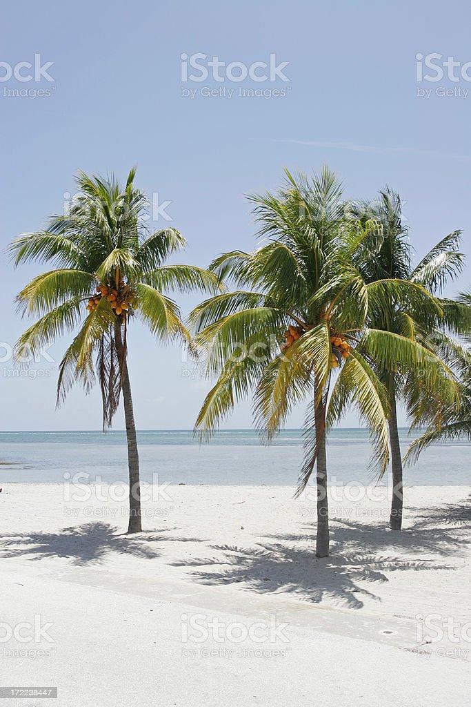 Coconut Palms on Beach royalty-free stock photo