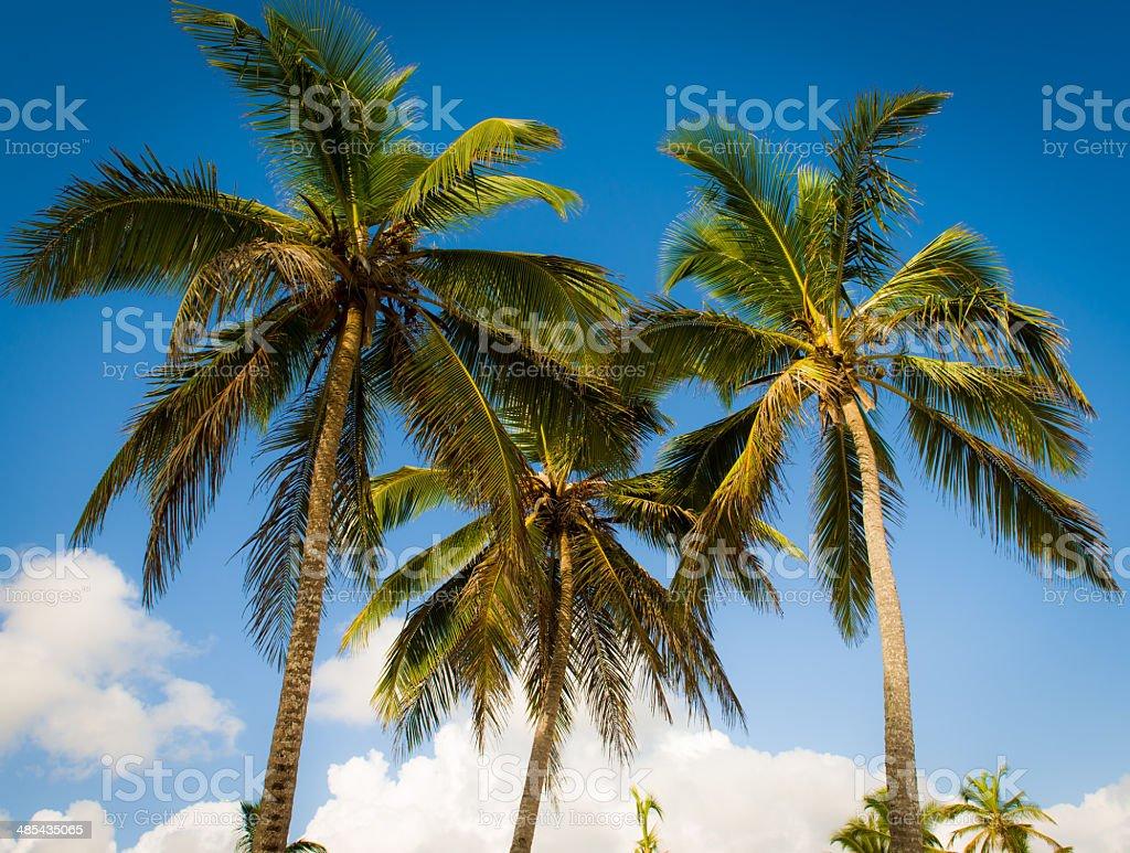 Coconut Palms stock photo