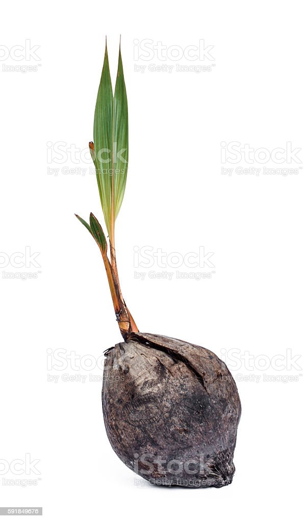 Coconut seedlings stock photo