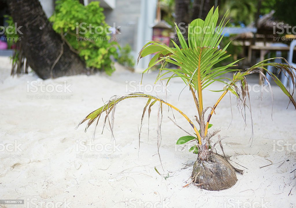 Coconut sprout growing on a white tropical beach stock photo