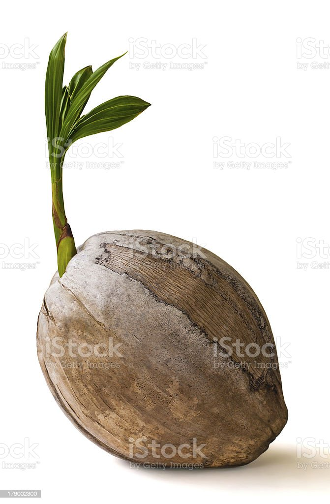 coconut sprout on white background stock photo