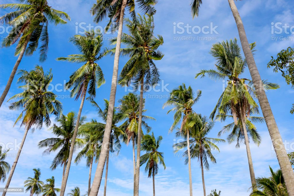 coconut tree against clear blue sky stock photo
