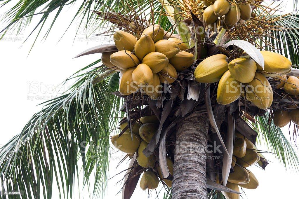 Kokosnuss Baum und Kokos isoliert ist Lizenzfreies stock-foto