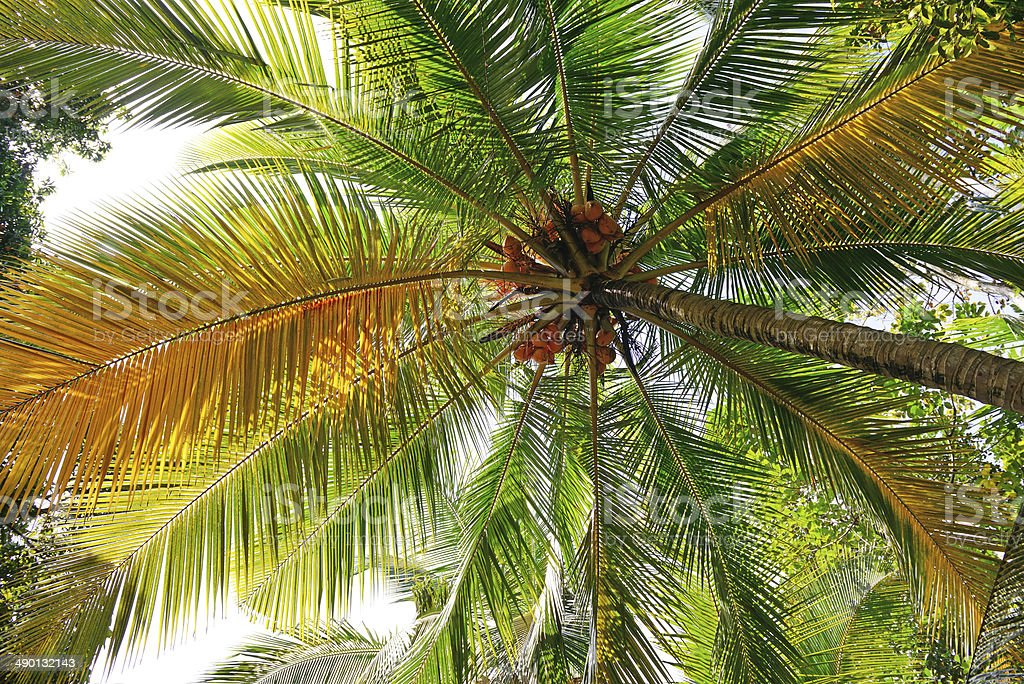 coconut tree background royalty-free stock photo