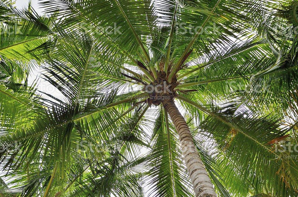 Coconut tree canopy royalty-free stock photo