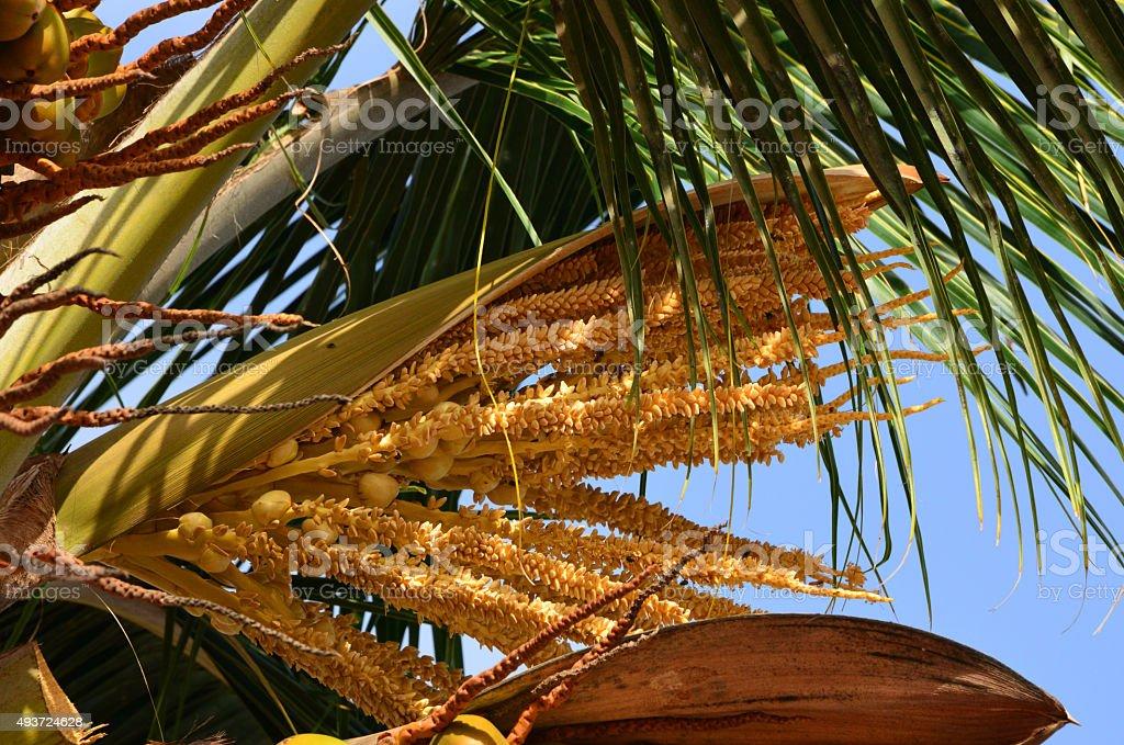 Coconut tree flower - Cocos nucifera inflorescence stock photo