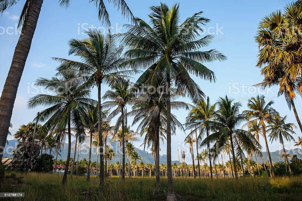 Coconut tree in garden stock photo