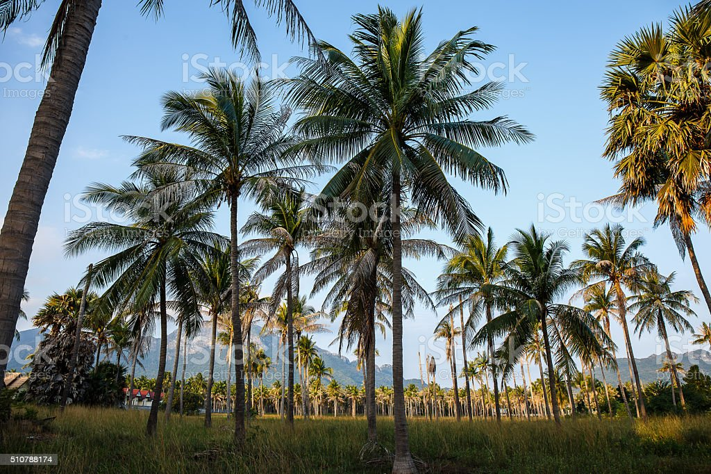 Coconut tree in garden stock photo