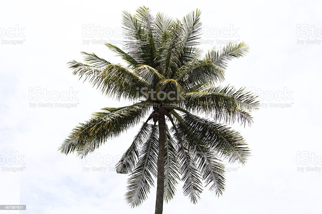 Coconut tree isolated on white background royalty-free stock photo