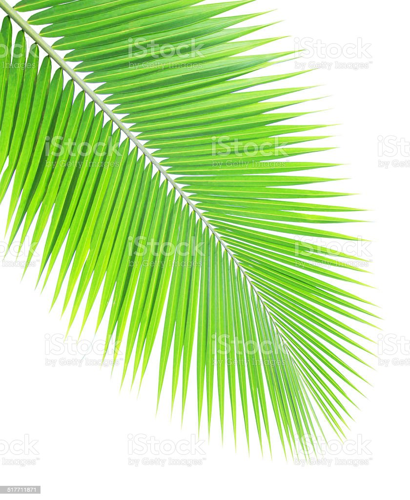 Coconut Tree Leaf stock photo 517711871 | iStock