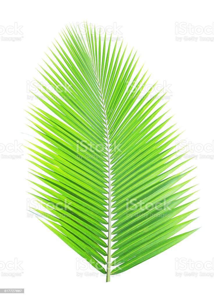 Coconut tree leaf stock photo