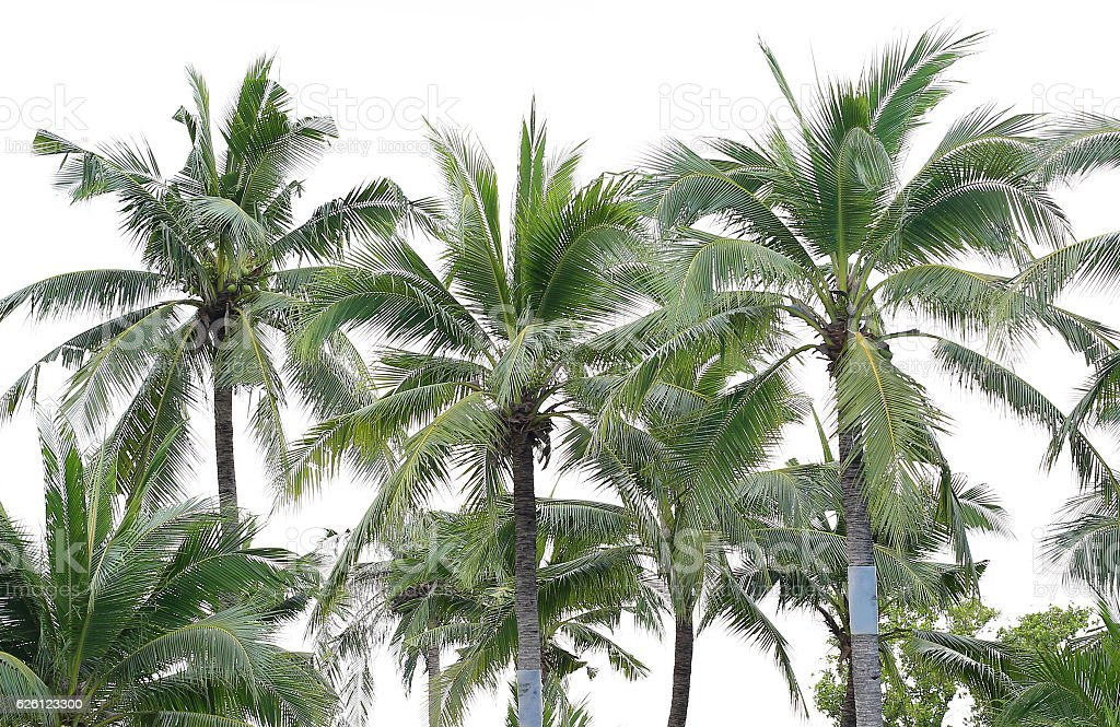 coconut tree over white stock photo