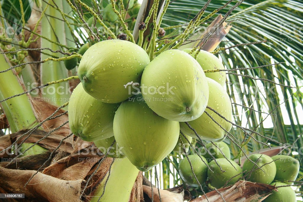 Coconut Tree royalty-free stock photo