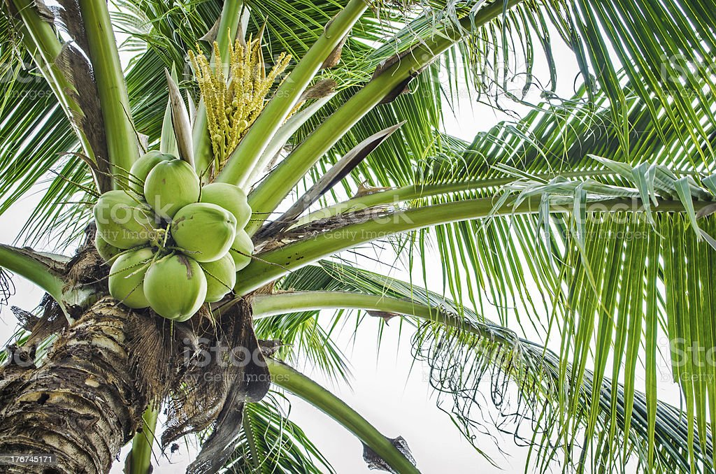 Coconut tree royalty-free stock photo