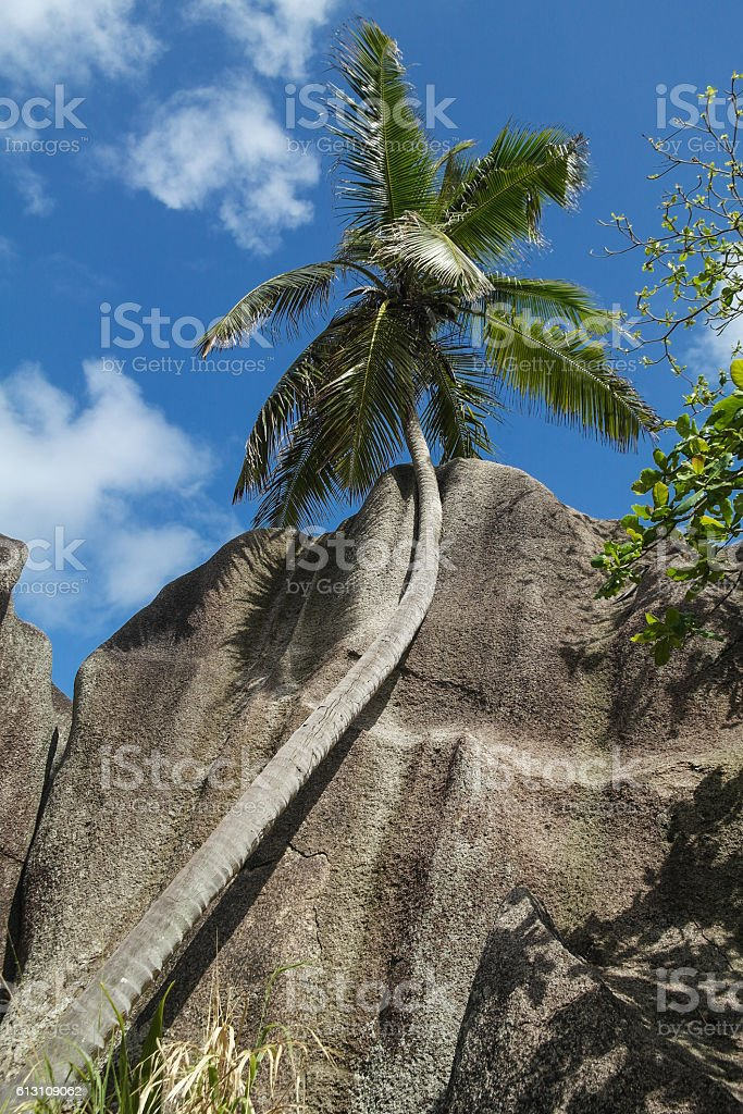 Coconut tree - Seychelles Island stock photo