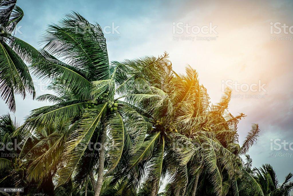 Coconut tree under blue sky stock photo
