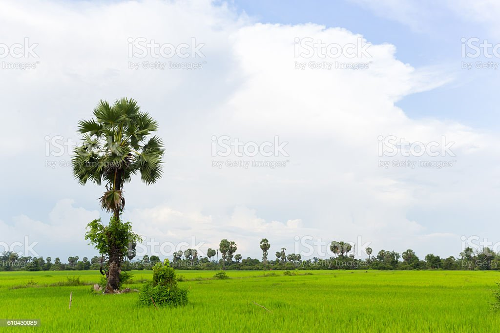 coconut tree with farm field in laos stock photo