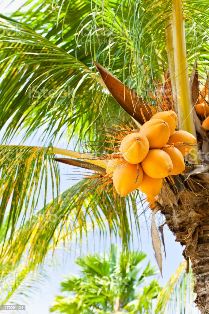 Coconut Tree with golden nuts royalty-free stock photo
