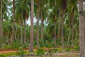 coconut trees farm in Sri Lanka